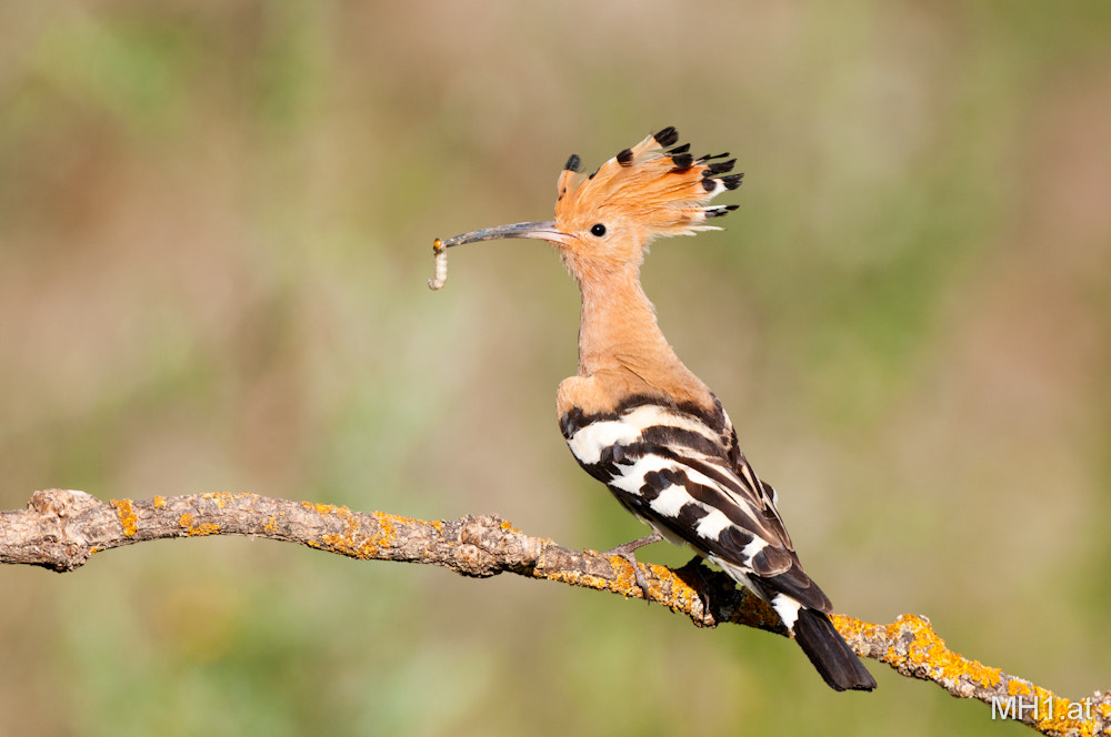 Photograph Hoopoe (Upupa epops) by Matthias Hausdorf (MH1.at) on 500px