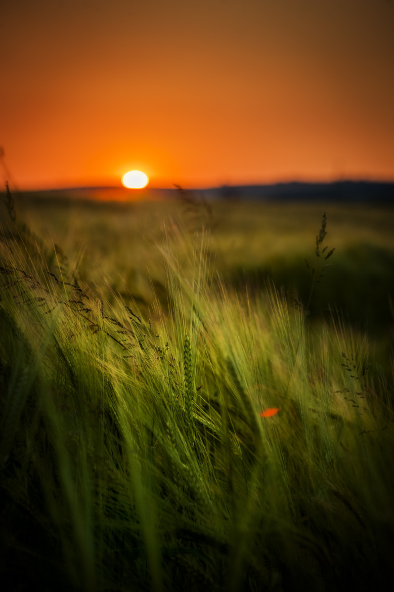 Photograph Wheat Field at Sunset by Tom Rogers on 500px