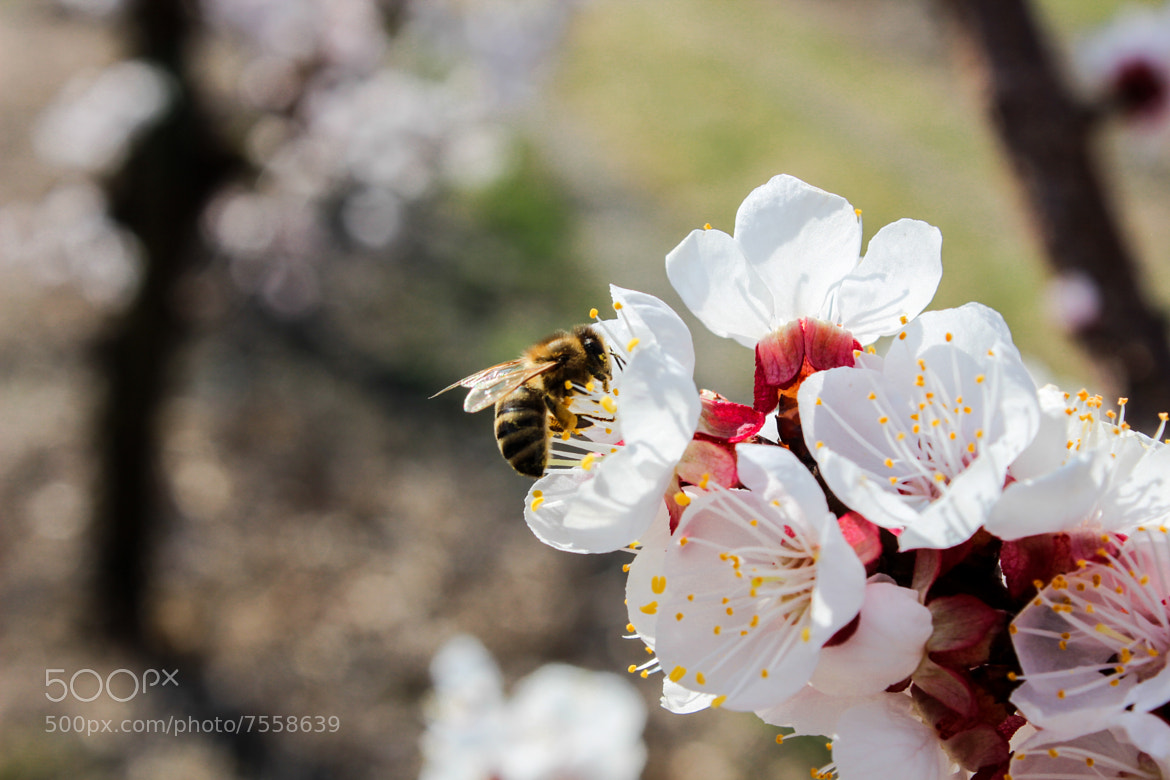 Photograph honey bee by René Wenter on 500px