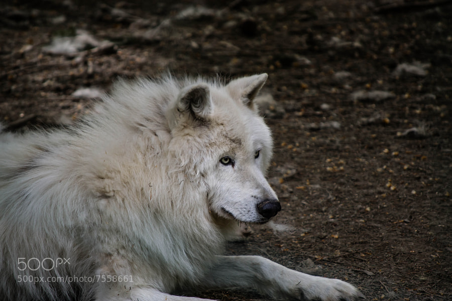 Photograph Arctic Wolf by Hamda Kort on 500px