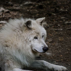 Arctic Wolf by Hamda Kort (Jestar)) on 500px.com