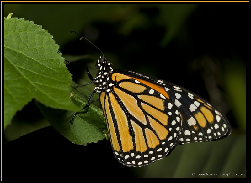 Photograph ¨Monarch Butterfly¨ by Josee Roy on 500px