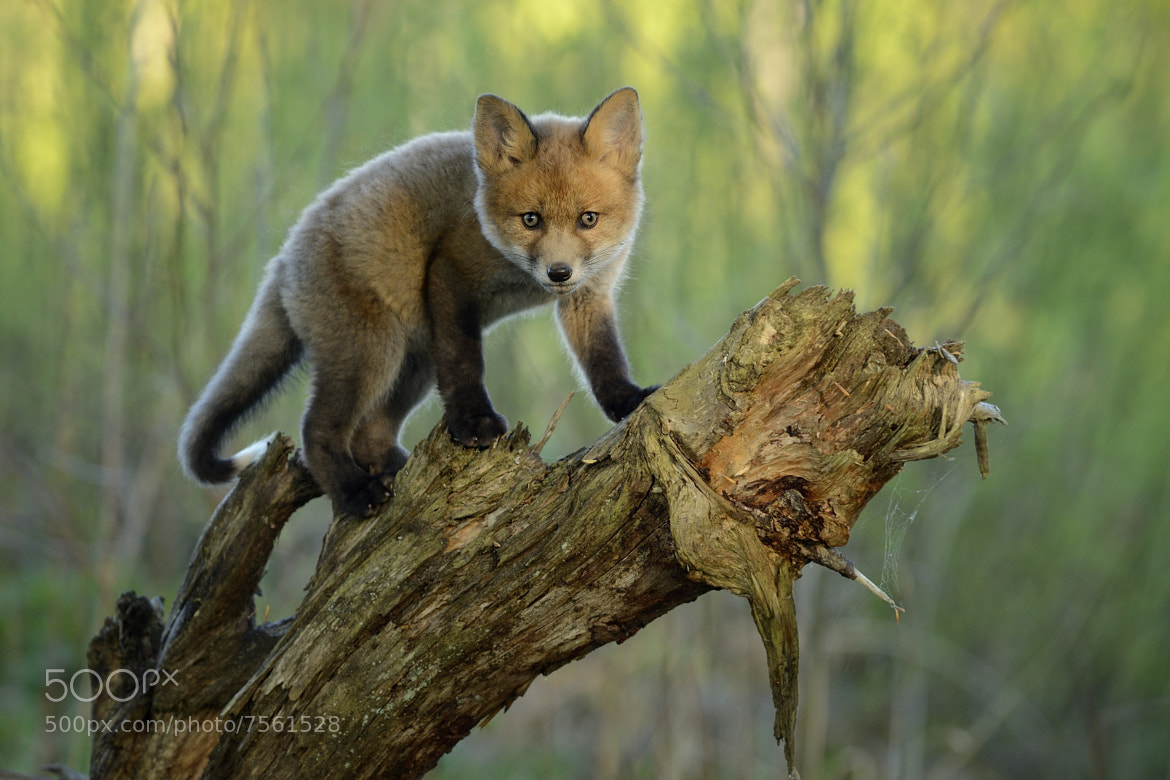 Photograph Young Red Fox by Mats Brynolf on 500px
