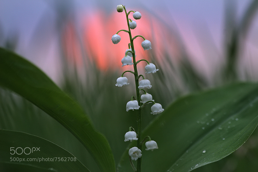 Photograph lily of the valley by Vadim Trunov on 500px