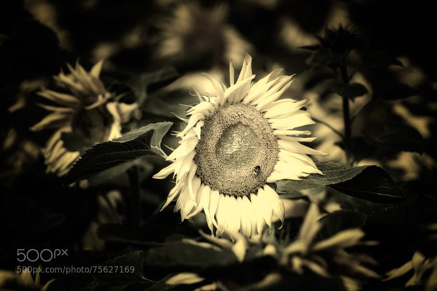 Sunflower | Sonnenblume