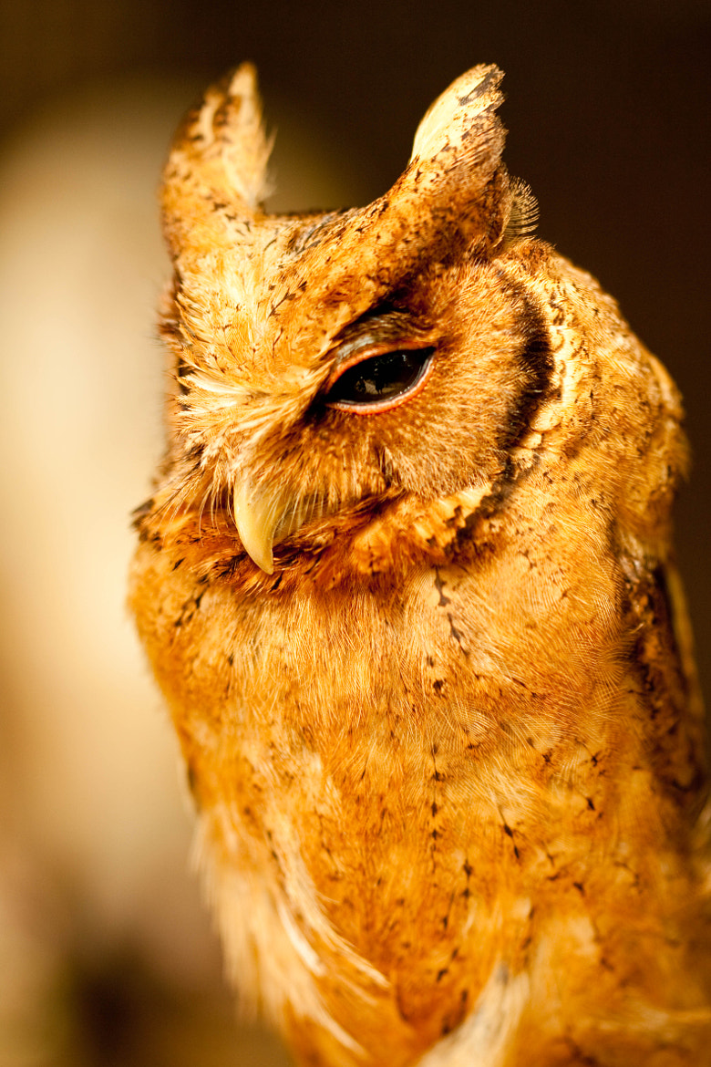 Photograph Owl by JAMES NEOH HANG PENG on 500px