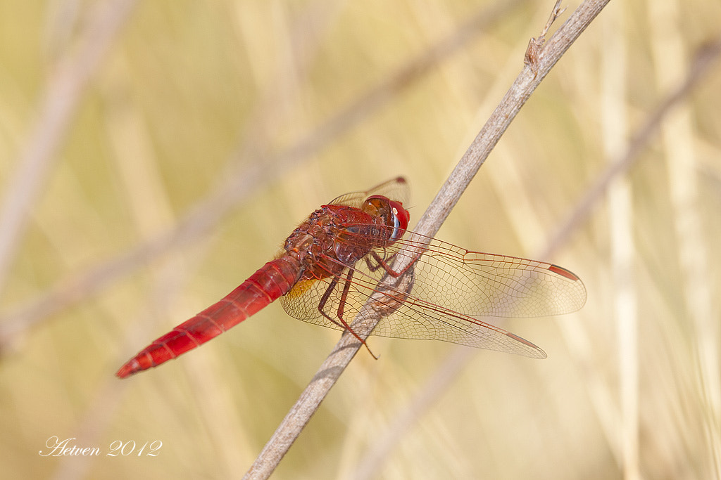 Photograph Scarlet dragonfly by Antonio T.V. on 500px