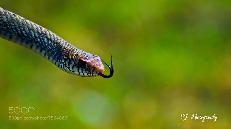 Photograph Rat Snake  by VIKRAM JAMMULA on 500px