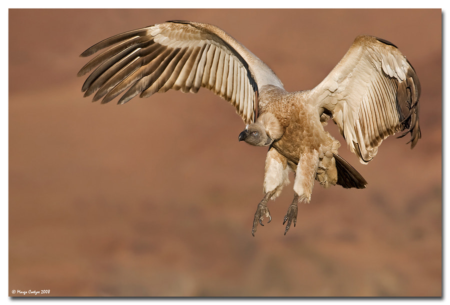 Photograph Cape Vulture by Margo Coetzee on 500px