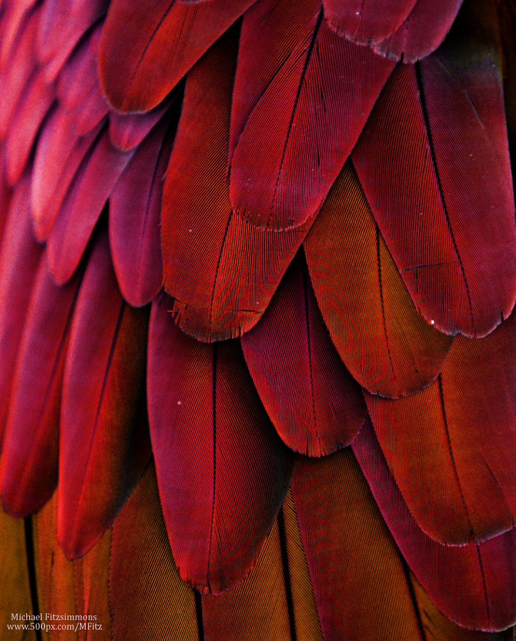 Macaw Feathers (Red/Yellow) by Michael Fitzsimmons on 500px.com