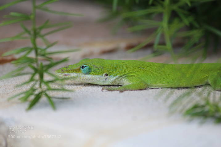 Photograph Lizard by Mike Fry on 500px