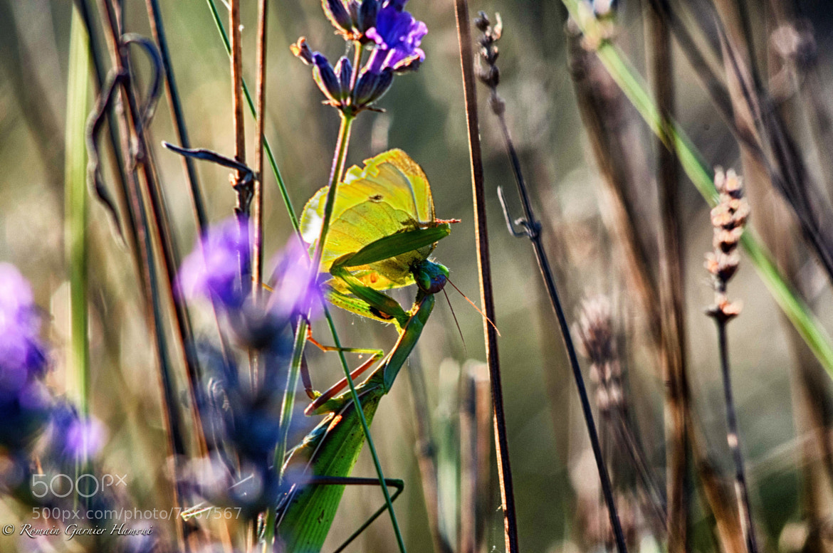 Photograph Praying mantis at lunch by Romain Garnier Hamoui on 500px