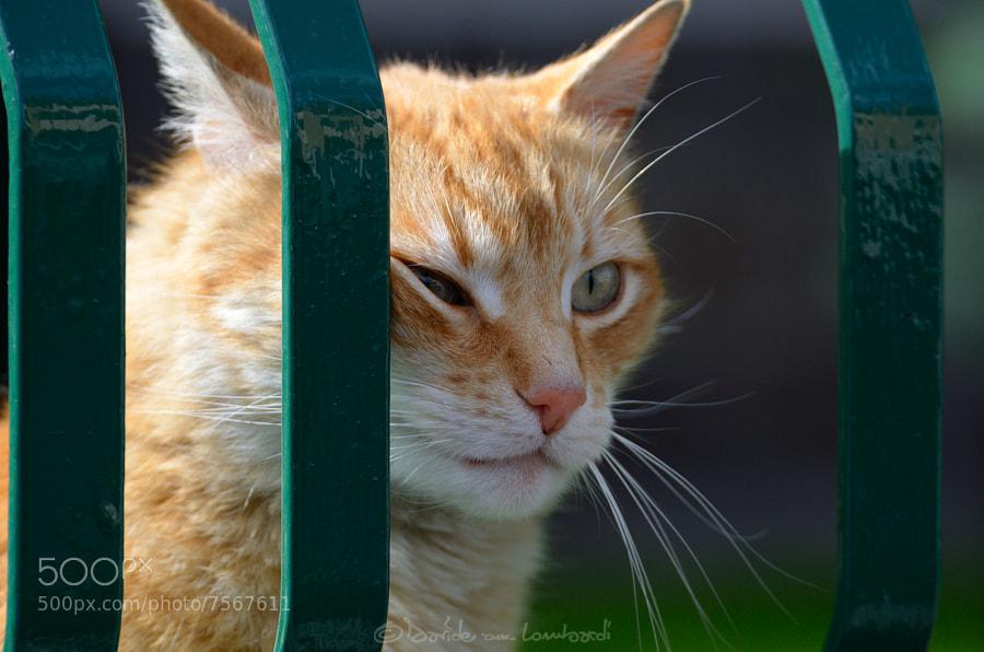 Photograph Portrait of a cat by Davide Lombardi on 500px