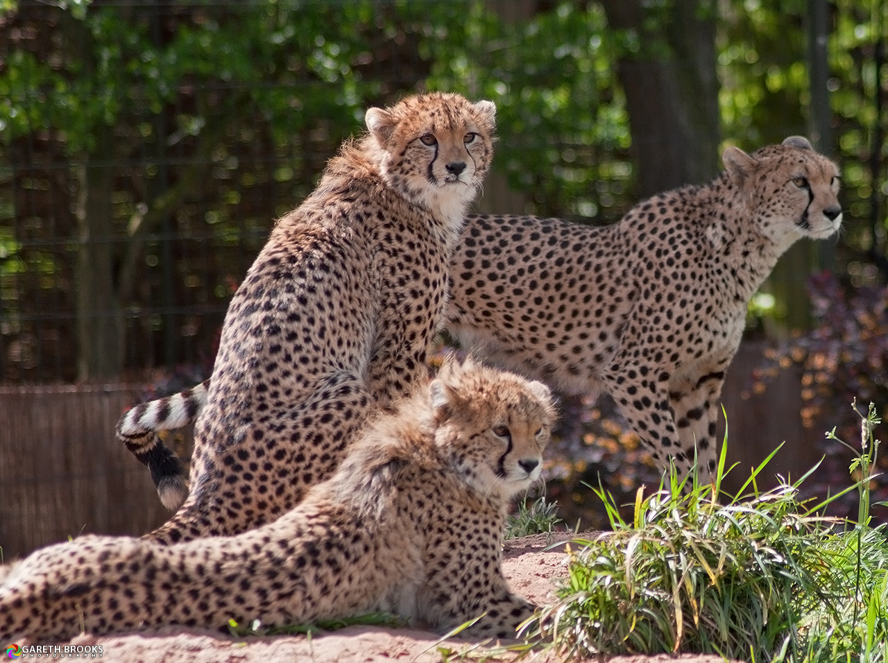 Photograph Cheetah Family by Gareth Brooks on 500px