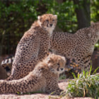 Постер, плакат: Cheetah Family