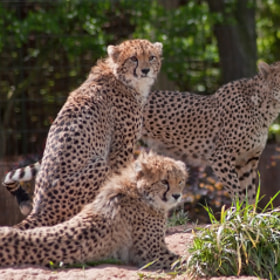 Cheetah Family by Gareth Brooks (garethbrooks)) on 500px.com