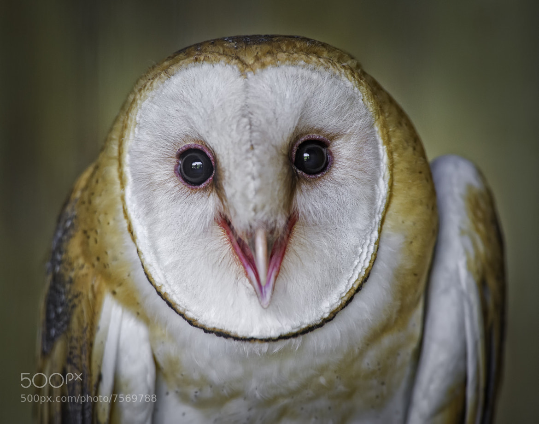 Photograph Cute Barn Owl by Daniel Parent on 500px
