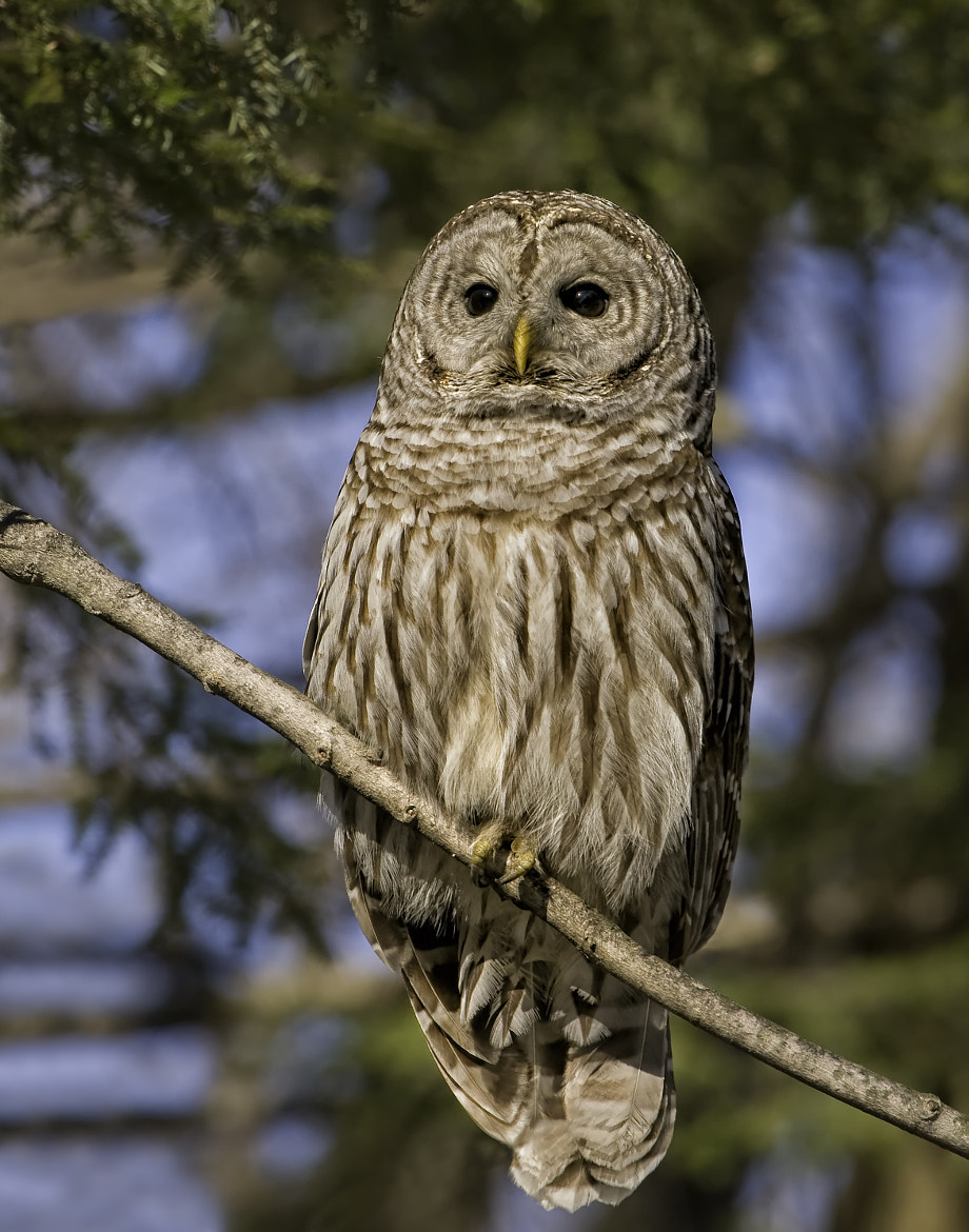 Photograph Barred Owl  by Daniel Parent on 500px