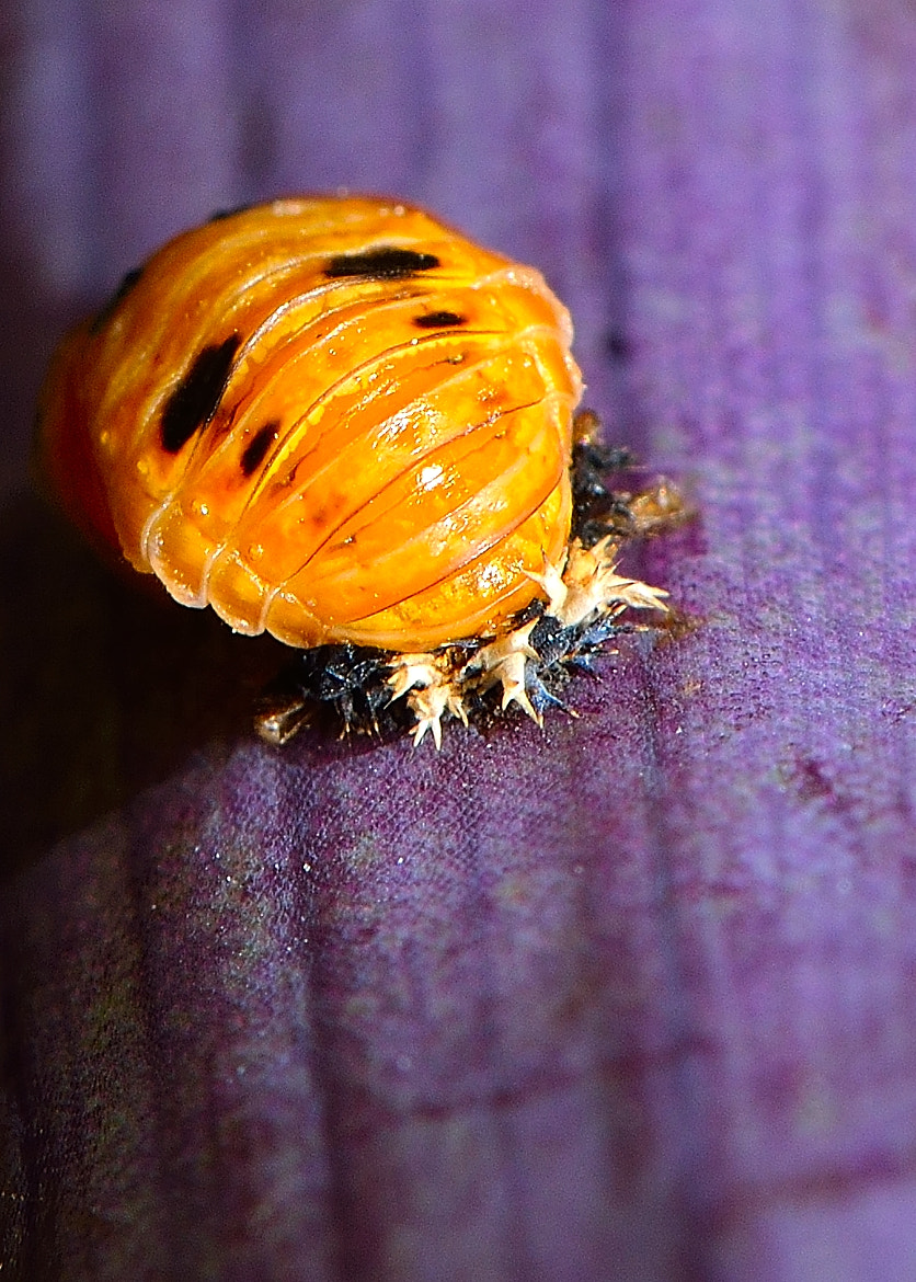 Photograph Baby Ladybug by Chad  on 500px