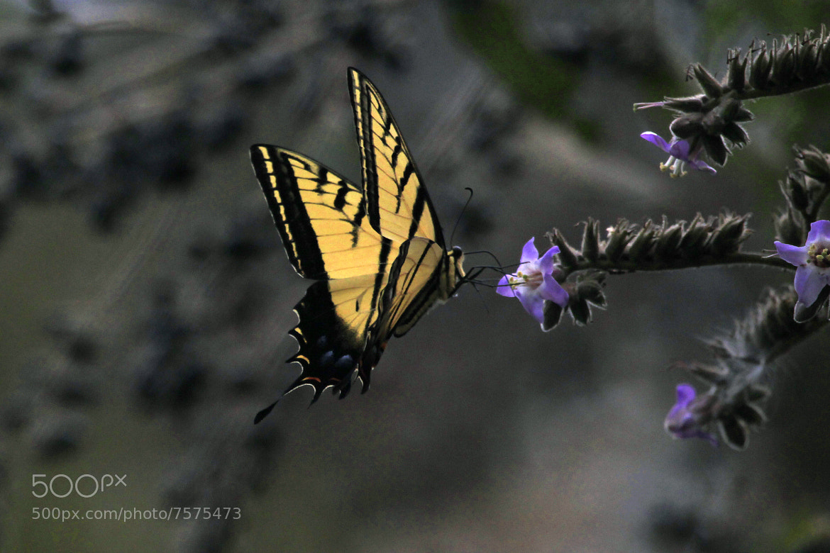Photograph Emperor Butterfly by Cristobal Garciaferro Rubio on 500px