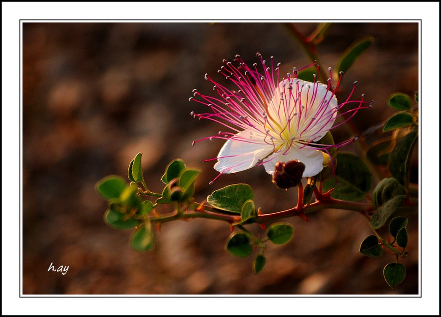 Photograph Les fleurs des champs : 07 Capparis spinosa by HUSEYIN AY on 500px