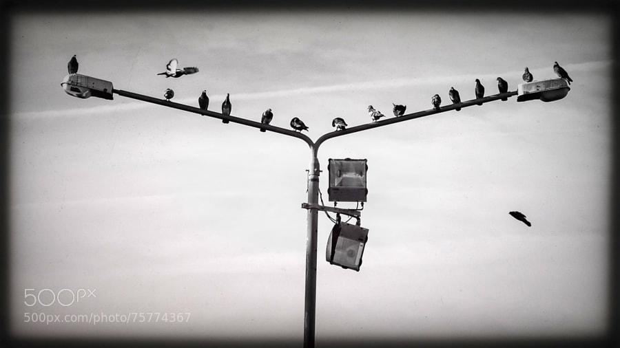 maltese doves