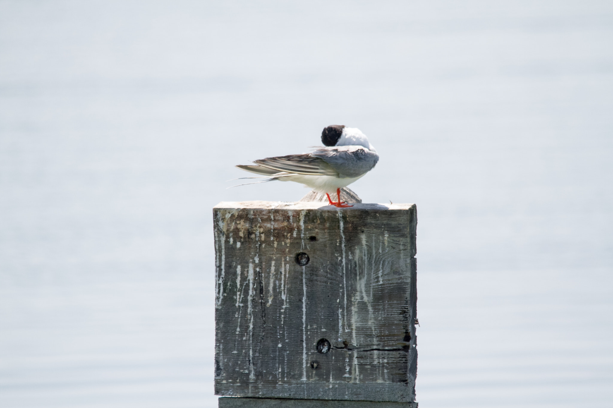 Photograph Perched Forster's tern by Ron Palmer on 500px
