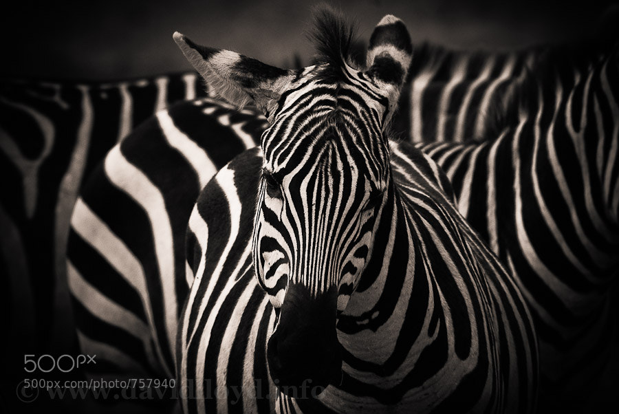 Photograph Zebras by David Lloyd on 500px