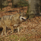 Постер, плакат: Grey wolf on the move