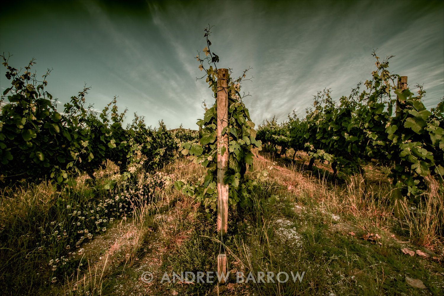 Photograph Rows of Vines by Andrew Barrow LRPS on 500px