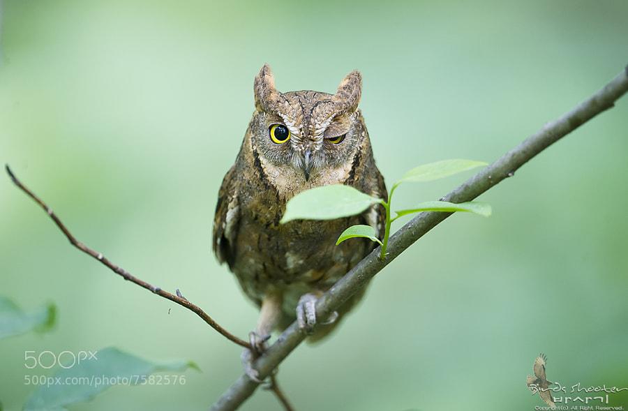 Oriental scops owl  by basaki (basaki) on 500px.com