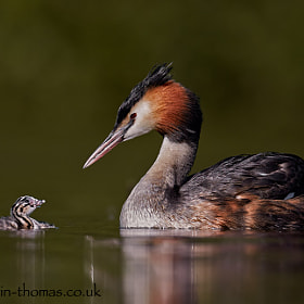 A Great Crested Grebe and its newborn baby.