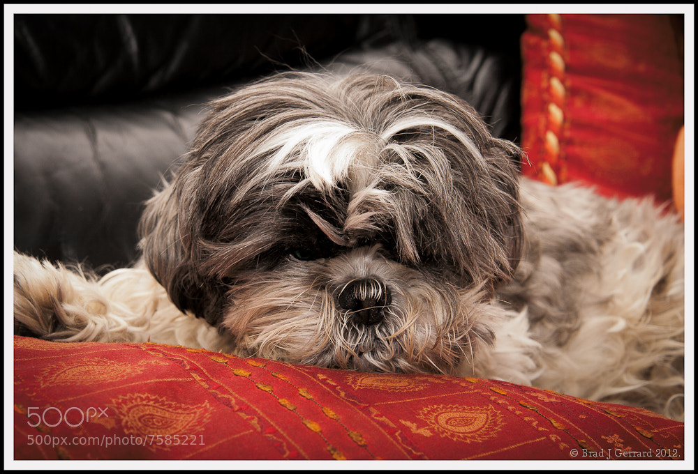 Photograph Baby the dog, relaxed. by Brad J Gerrard on 500px