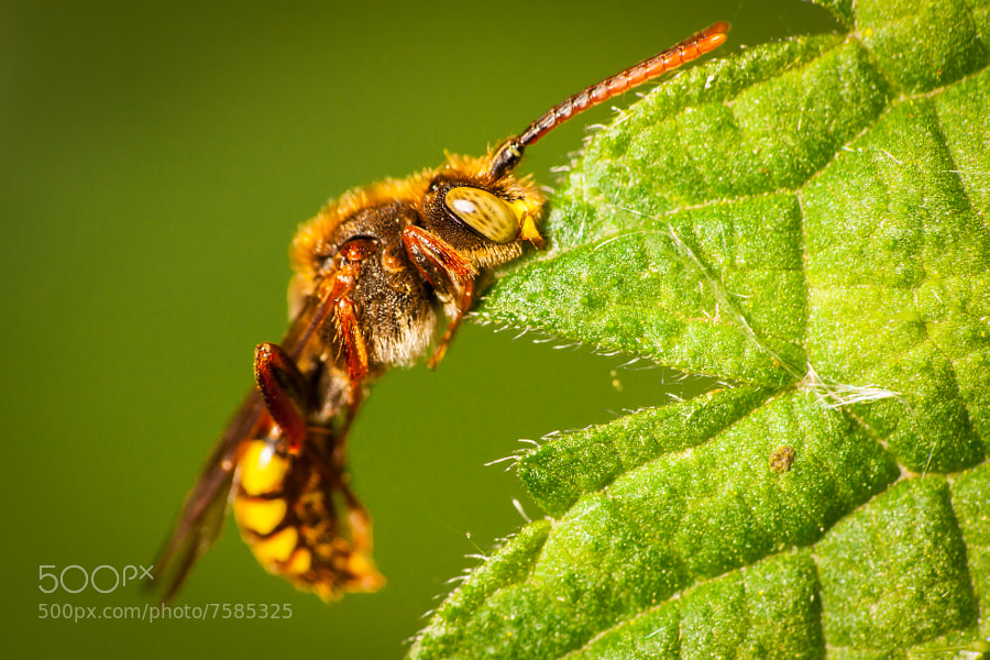Photograph Nomada Bee by Scott Marshall on 500px