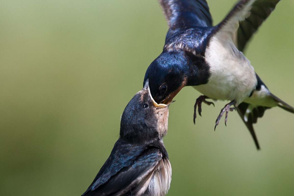Photograph Swallow...... by Craig Nash on 500px