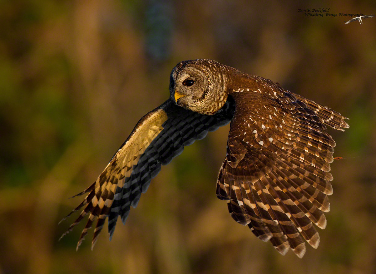 Photograph Barred owl by Ron Bielefeld on 500px