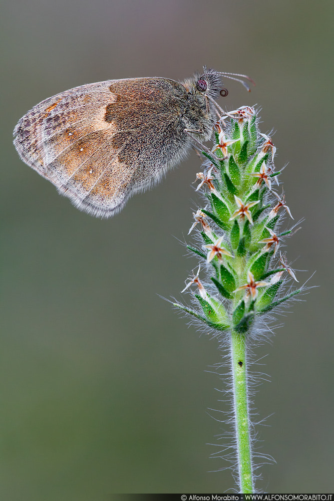 Photograph Coenonympha Pamphiulius by Alfonso Morabito on 500px