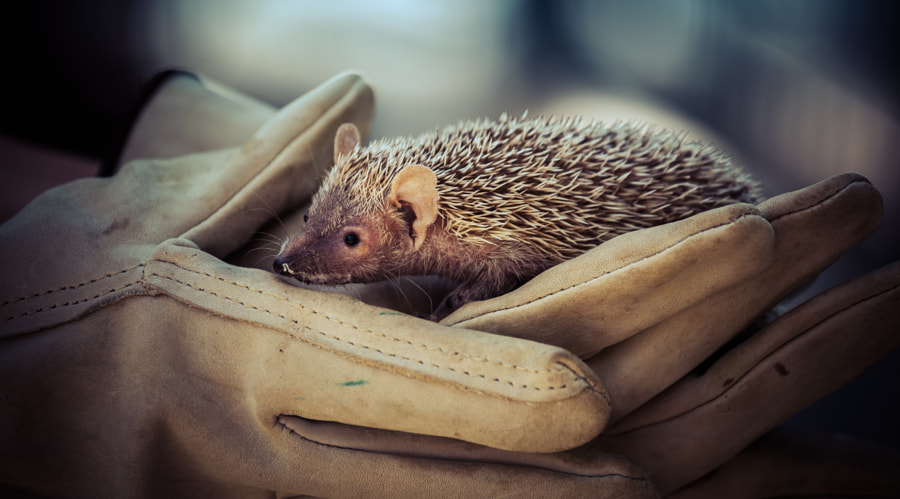 Photograph An Adorable Hedgehog by Stephen Moehle on 500px