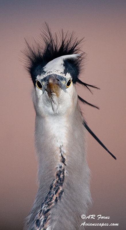 Photograph Great Blue Heron up close by Alfred Forns on 500px