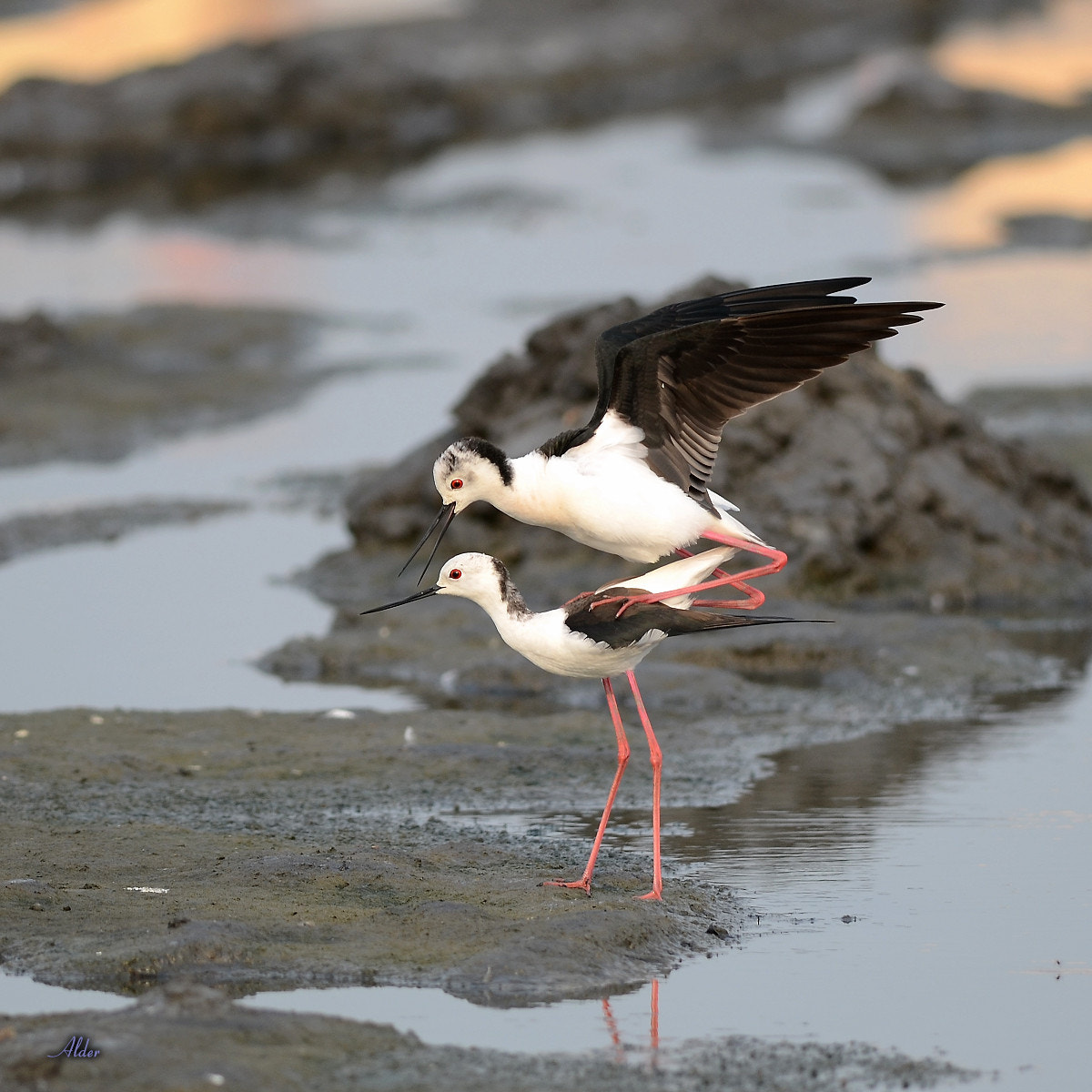 Photograph Black-winged Stilt, mating by Alder Chang on 500px