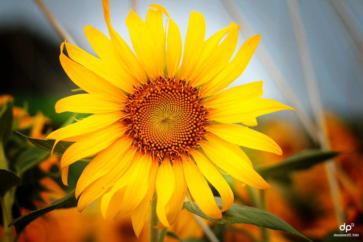 Photograph Sun flower ^^ by Wisarut Thammathatto on 500px