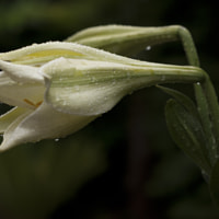 Flower with drops