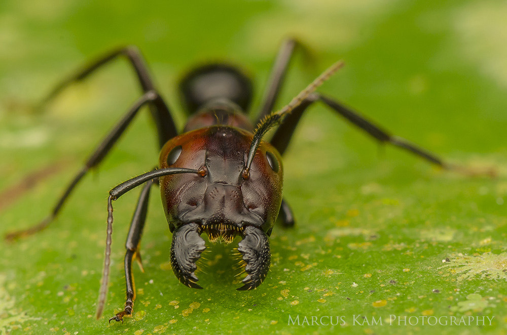 Photograph Angry Ant by Marcus Kam on 500px