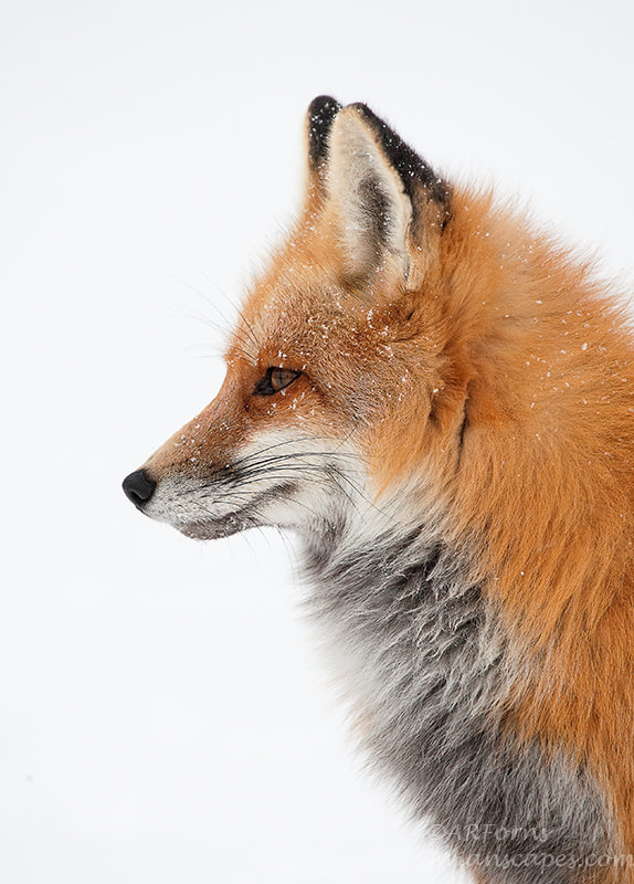 Photograph Fox by Alfred Forns on 500px