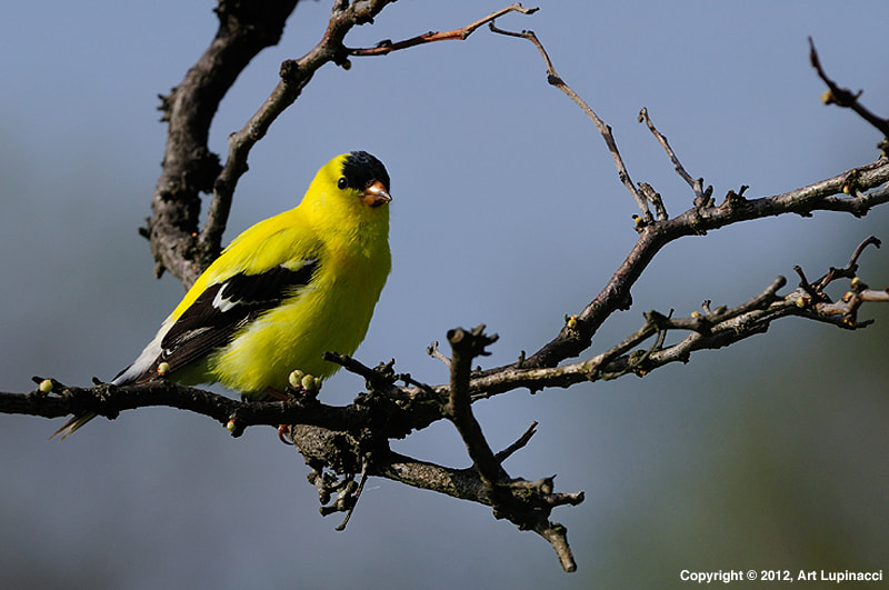 Photograph American Goldfinch by Art Lupinacci on 500px