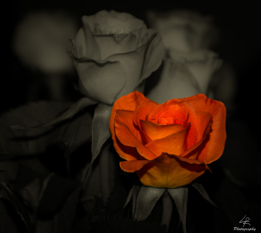Photograph Rose by Leo Rantala on 500px