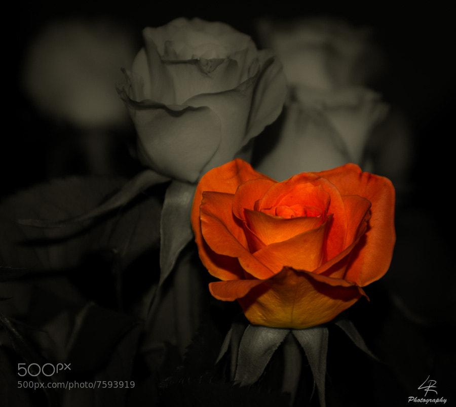 Photograph Rose by Leo Rantala on 500px