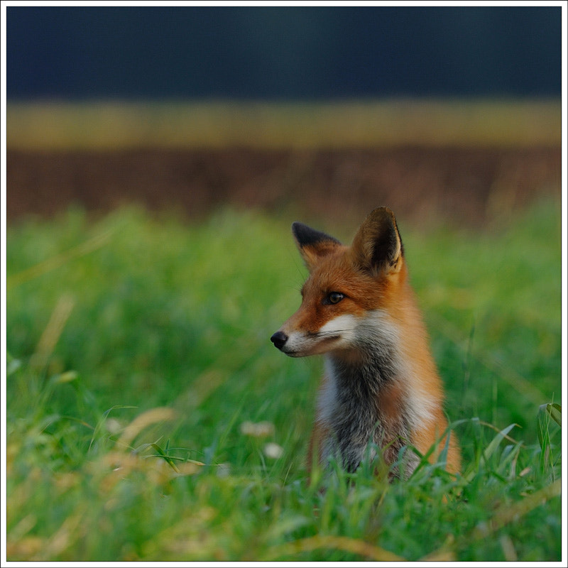Photograph fox by N Mikael Svensson on 500px