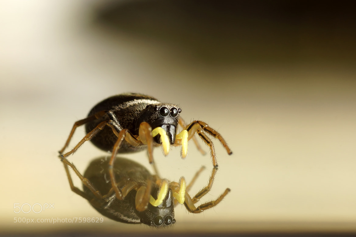 Photograph Jumping spider by Ptitbouchonphoto Julien on 500px