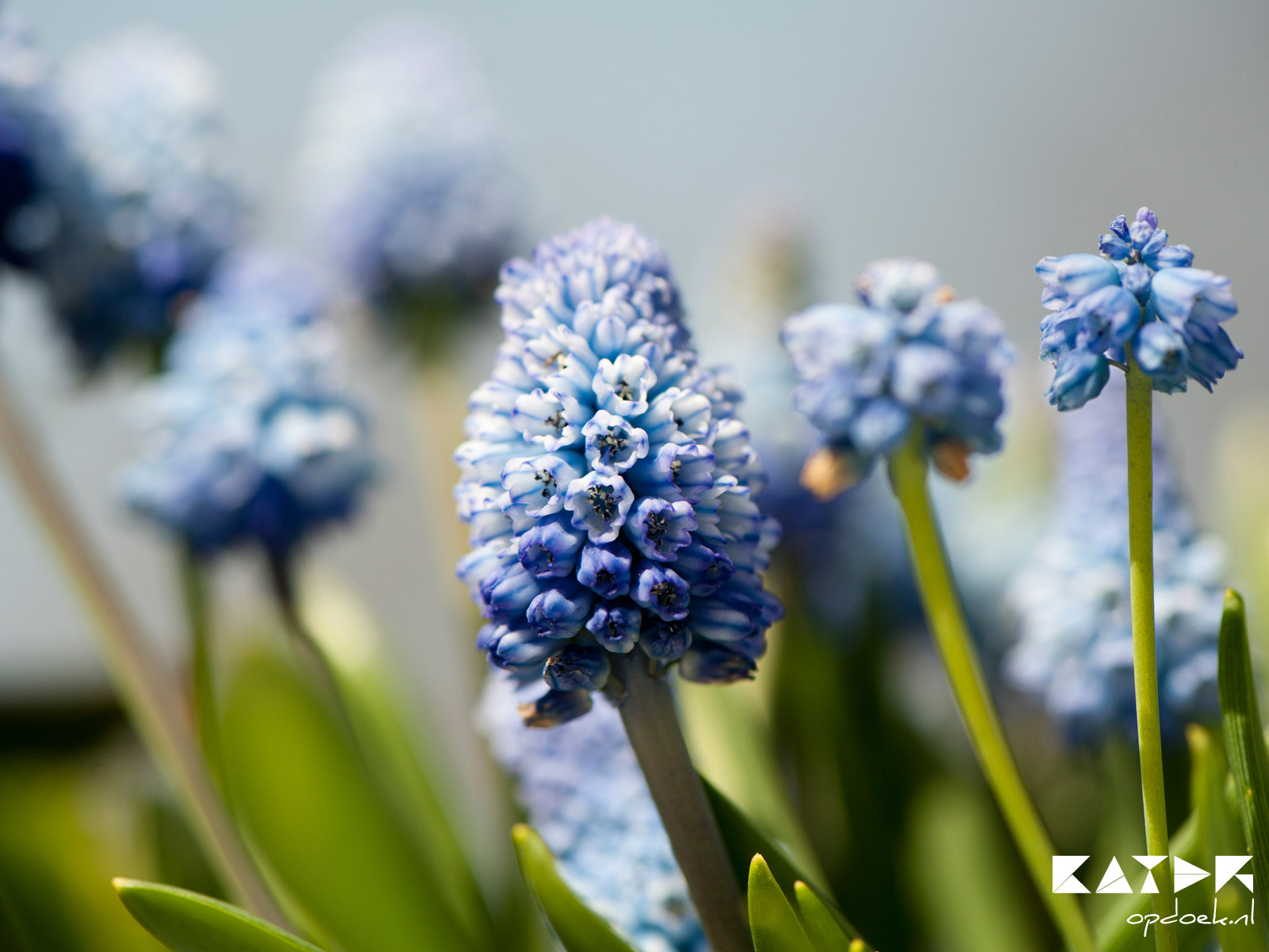 Photograph Baby blue-ish Muscari azureum by Joffrey Kater on 500px